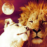 lions cuddling next to full moon