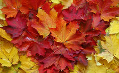 heart shaped fall leaves